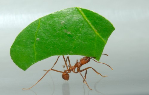 Leaf-cutting ant (Photo: David Jenike)