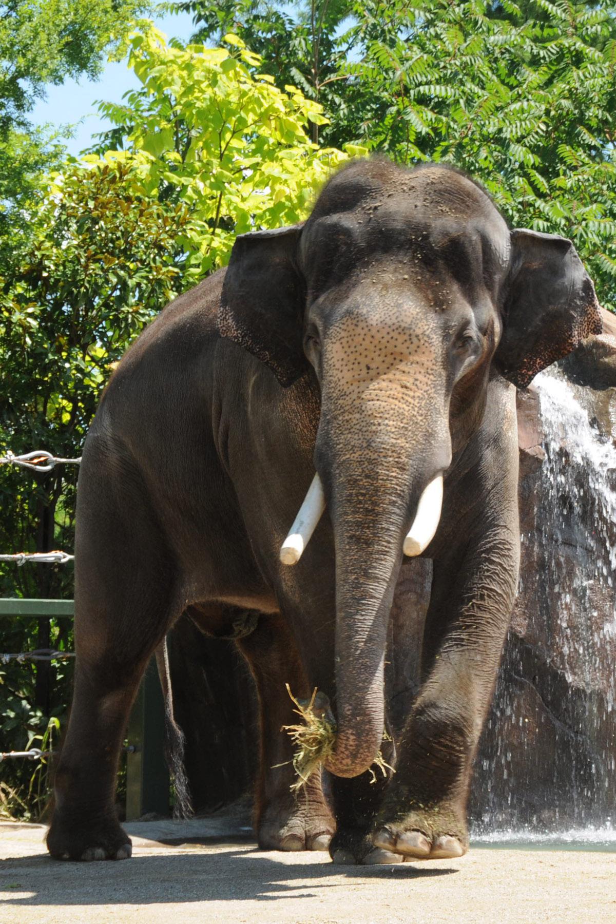Sabu, our male Asian elephant (Photo: David Jenike)