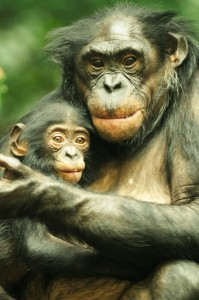 Maddie, a baby bonobo, stays safe and warm in the arms of her mother, Lisa.