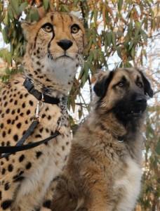 10 Cheetah 1081 C