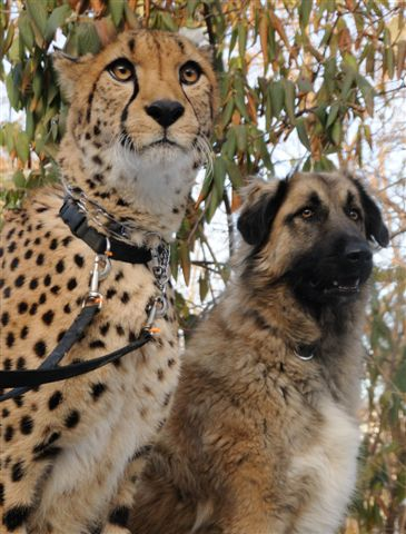 Cheetah Support Dog Best Cheetah Image And Photo HD - Cheetahs can be so shy that zoos give them emotional support dogs