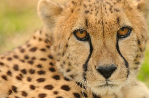 My favorite animal is the cheetah. (Photo: Dave Jenike)