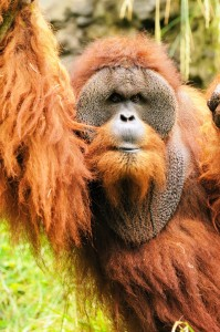 "Orangutan means ""man of the forest"" and Butch, our adult male, certainly fits the bill."