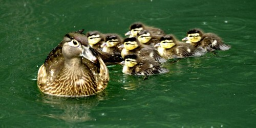 Mama wood duck and her ducklings on Swan Lake (Photo: Jeff McCurry)
