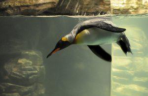 King penguin (Photo: Kathy Newton)