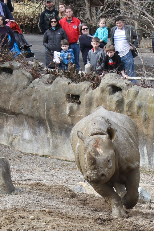 Visitors watch our black rhino run! (Photo: Mark Dumont)