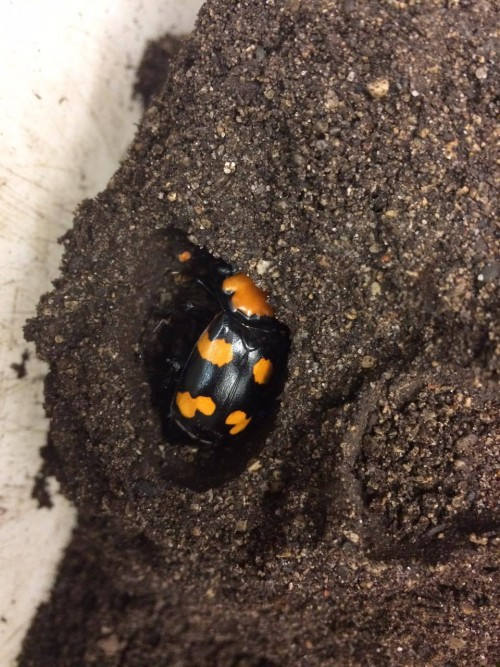 This is a brand new beetle raised at the Cincinnati Zoo