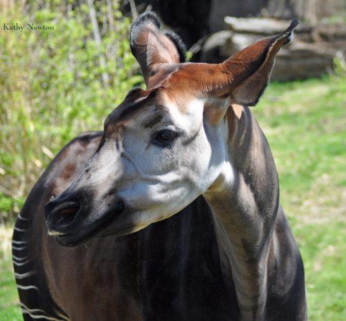 Meet the okapi! (Photo: Kathy Newton)