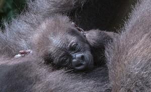 baby gorilla mondika