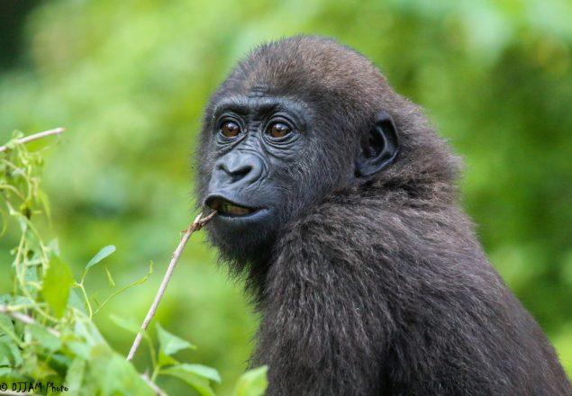 It S Good To Be A Three Year Old Gorilla Cincinnati Zoo Blog
