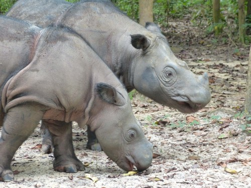 Andatu and Ratu at the Sumatran Rhino Sanctuary