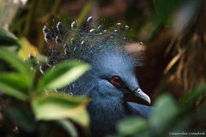 Victoria ground pigeon (Photo: Cassandre Crawford)