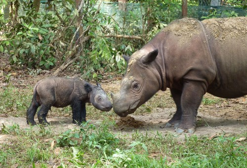 Sumatran rhinos at the Sumatran Rhino Sanctuary in Indonesia