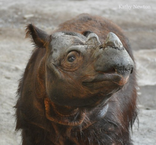 Sumatran rhino named Harapan (Photo: Kathy Newton)