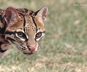 Sihil the ocelot (Photo: Kathy Newton)