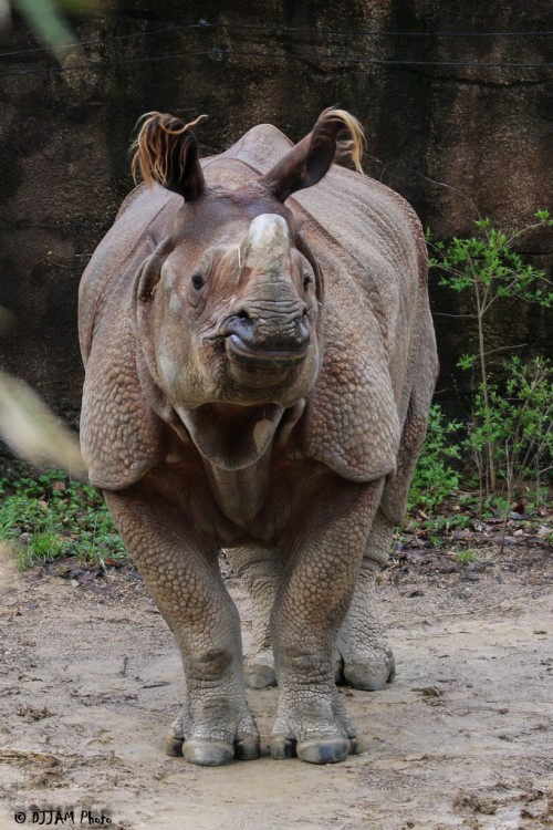 Indian rhino (Photo: DJJAM)