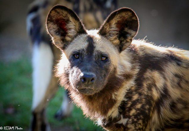 African painted dog (Photo: DJJAM)