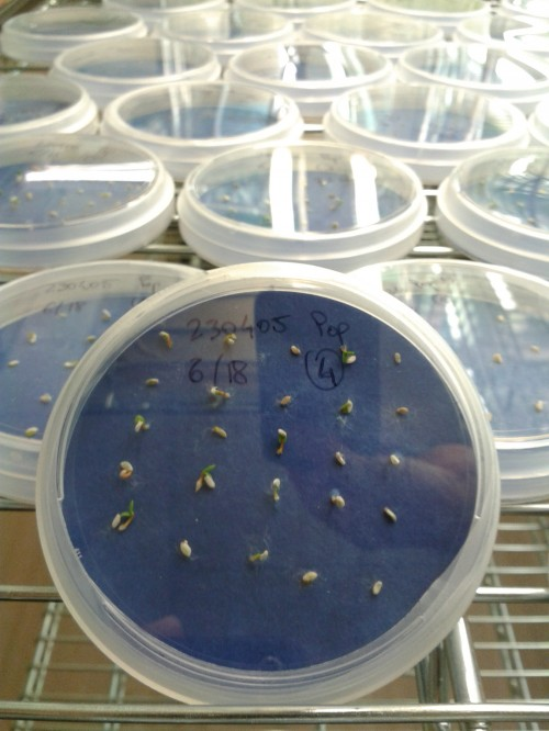 Fig. 2: Seeds germinating in the growth chambers