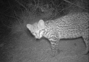An ocelot kitten recently caught on camera at Laguna Atascosa Wildlife Refuge (Photo: U.S. Fish & Wildlife Service)
