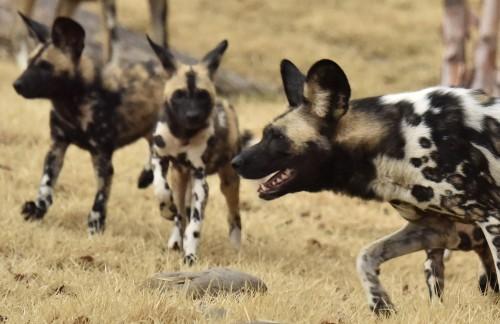 2015-04-08 Imara Pups