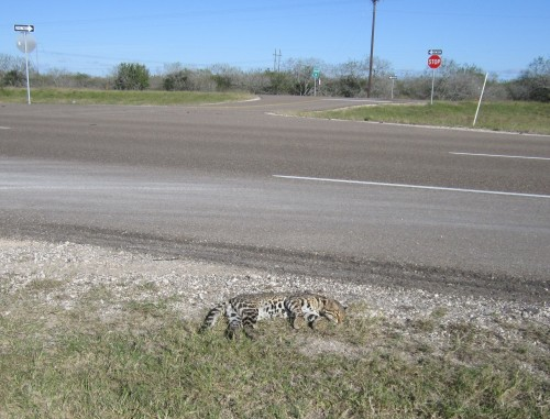 Ocelot killed on Hwy 77 (Photo: U.S. Fish and Wildlife Service)