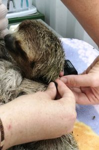 Attaching a radio collar to a sloth (Photo: Amanda Chambers / Colleen Lawrence)