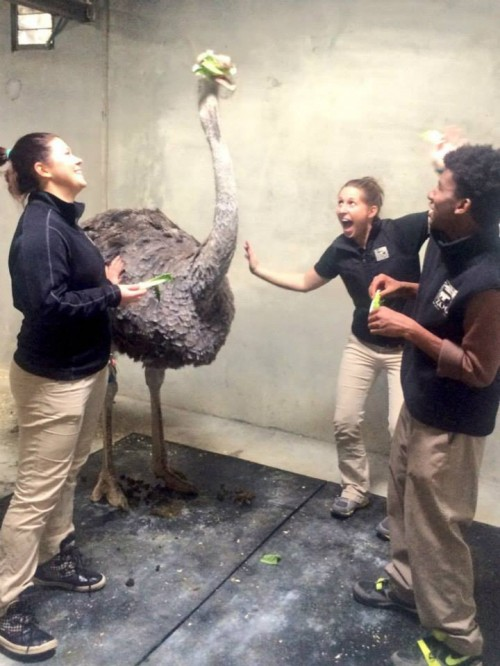 Soon to graduate, Zoo Academy student Dominick Stowers (right) works with the Africa keepers and an ostrich.
