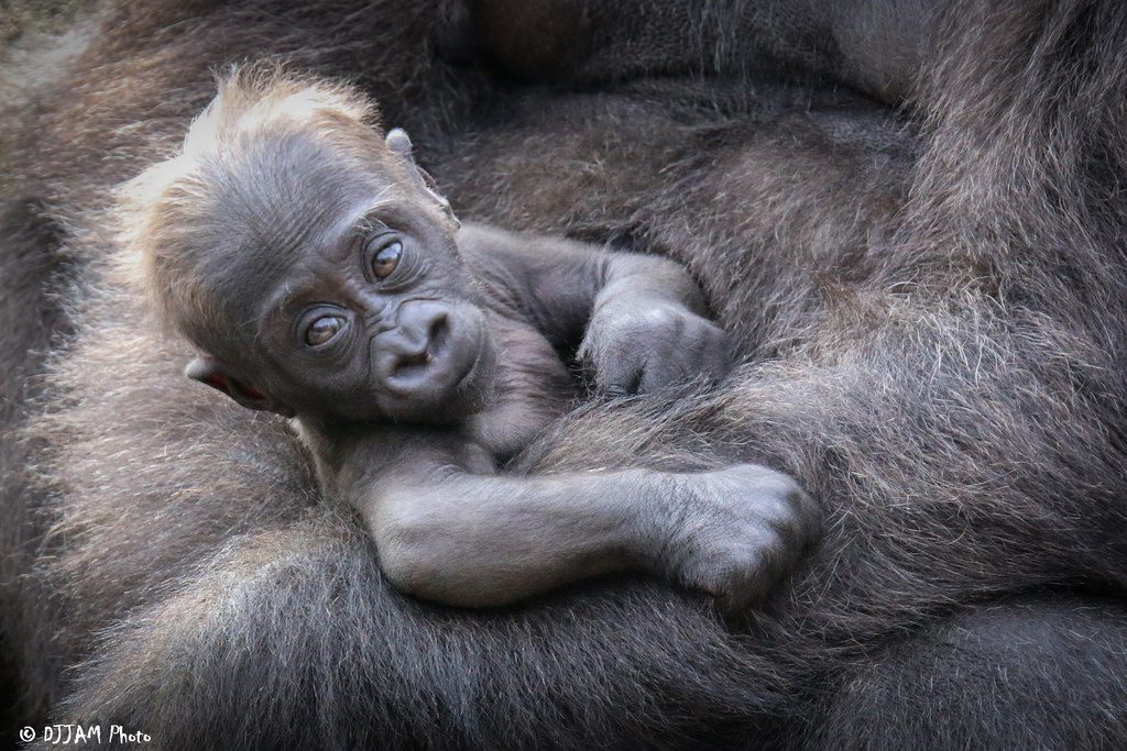 Elle, the 50th gorilla born at the Cincinnati Zoo (Photo: DJJAM)