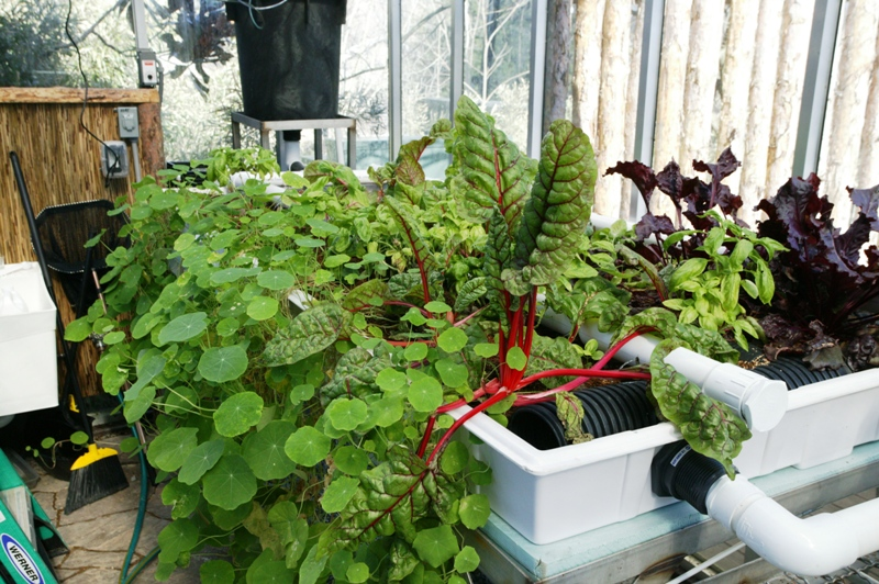 Happy plants in the grow beds of the aquaponics system.