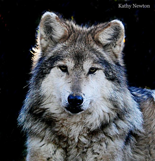 Mexican grey wolf (Photo: Kathy Newton)