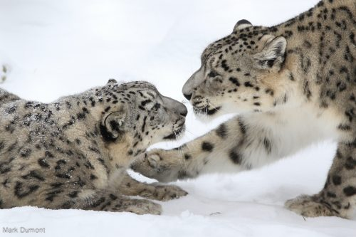 Snow leopards (Photo: Mark Dumont)