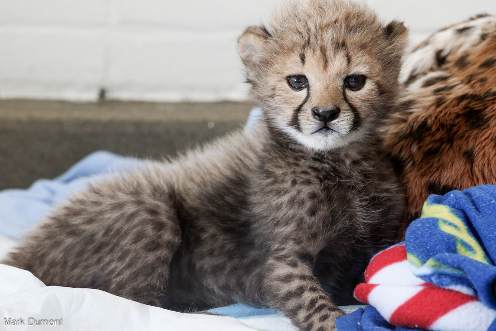 One of the cheetah cubs in the Nursery now! (Photo: Mark Dumont)