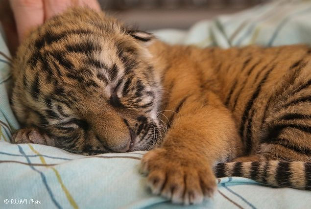 Three's Company: Baby Tigers in the Zoo's Nursery