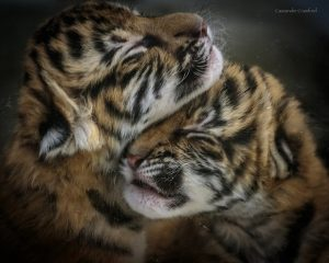 Two of the new Malayan tiger cubs (Photo: Cassandre Crawford)