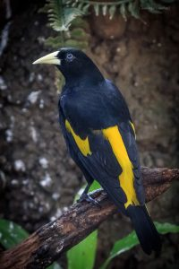 Yellow-rumped cacique (Photo: Cassandre Crawford)