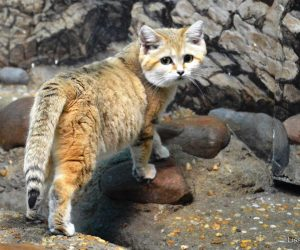Sand cat (Photo: Lisa Hubbard)