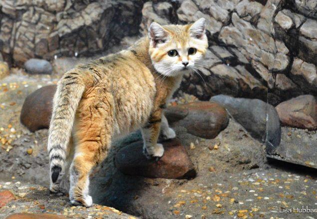 Sand cat (Photo: Lisa Hubbard)