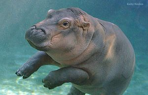 Fabulous Fiona the hippo! (Photo: Kathy Newton)