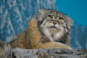 Pallas' cat (Photo: Lisa Hubbard)