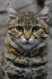 Black-footed cat (Photo: Lisa Hubbard)