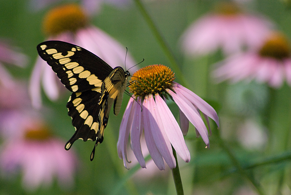 Black swallowtail butterfly on a purple coneflower (Photo: Kathy Newton)