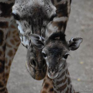 Fennessy the giraffe (Photo: Lisa Hubbard)