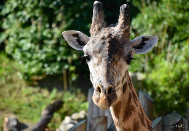 Giraffe (Photo: Lisa Hubbard)