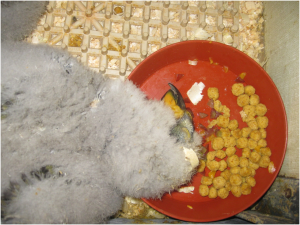 Five-week-old kea chick sleeping in its food plate