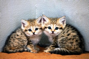 Arabian sand cat kittens produced through artificial insemination and embryo transfer.