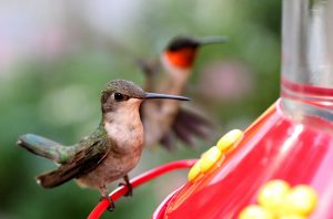 Hummingbirds (Photo: Jason Means)