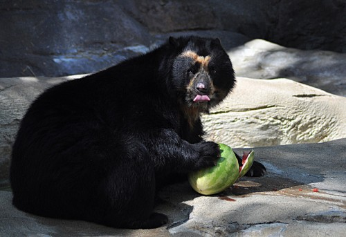 Chester the spectacled bear enjoys a watermelon
