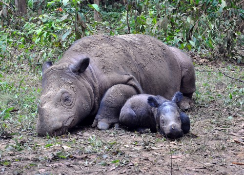 Ratu and her calf, Andatu, at the Sumatran Rhino Sanctuary.