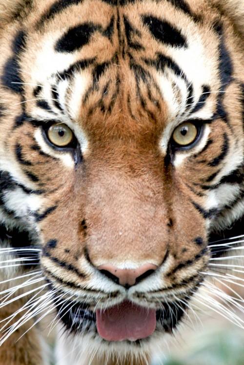 Tiger! (Photo: Mark Dumont)