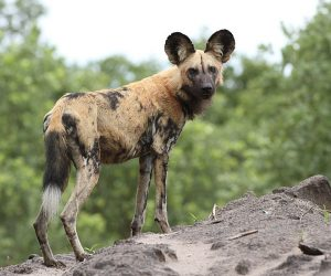 African painted dog (Photo: Derek Keats)
